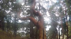 English Camp tree